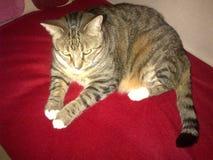 Cassidy η διαβητική τιγρέ γάτα Στοκ φωτογραφίες με δικαίωμα ελεύθερης χρήσης