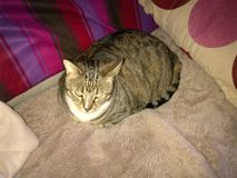 Cassidy η διαβητική τιγρέ γάτα Στοκ Εικόνες