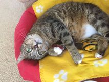 Cassidy Cat Imagem de Stock Royalty Free