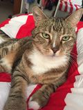 Stunning Male Tabby Cat. Stunning tabby cat relaxing Royalty Free Stock Images
