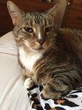 Cassidy le chat diabétique Photographie stock libre de droits