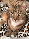 Stunning Male Tabby Cat with Green Eyes. Male tabby cat with beautiful markings Stock Images