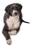 Cassie Hiszpański Wodny pies Obrazy Stock