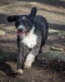 Spanish Water Dog Stock Photos