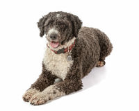 Cassie the Spanish Water Dog Stock Images