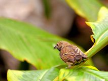 Cassin's finch bird (Haemorhous cassinii) on leaf Stock Image