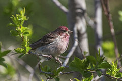 Cassin's Finch Haemorhous cassinii Royalty Free Stock Photography