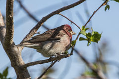 Cassin's Finch Haemorhous cassinii Royalty Free Stock Images