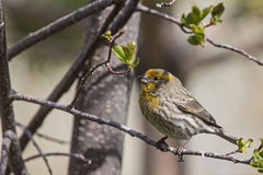 Cassin's Finch Haemorhous cassinii yelloe variant Stock Images