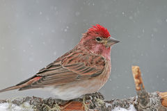 Cassin's Finch male Stock Images