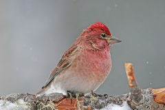 Cassin's Finch male (Carpodacus cassinii) Royalty Free Stock Photo