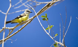 Cassin's Kingbird. On a branch with blue sky Royalty Free Stock Images