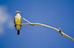 Cassin's Kingbird. On a branch with blue sky Stock Photos