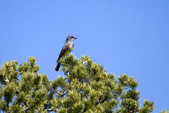 Cassin's Kingbird, Tyrannus vociferans Royalty Free Stock Photo