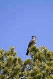 Cassin's Kingbird, Tyrannus vociferans Stock Images
