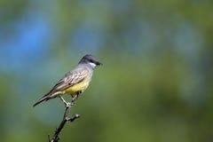 Cassin's Kingbird, Tyrannus vociferans Stock Photos