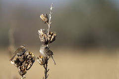 Cassin's Sparrow, Aimophila cassinii. Two Cassin's Sparrows perch on yucca pods in the Texas Panhandle Royalty Free Stock Image