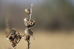 Cassin's Sparrow, Aimophila cassinii Royalty Free Stock Image