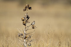 Cassin's Sparrow, Aimophila cassinii Royalty Free Stock Images