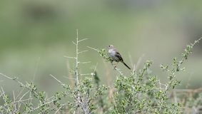 Cassin`s Sparrow Singing from Brush on the Grasslands. Of ColoradoPeucaea cassinii Royalty Free Stock Image