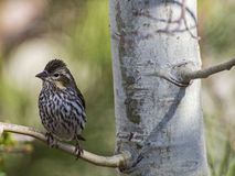 Cassins Finch Haemorhous cassinii Arkivbild