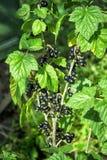 Cassis de Bush et aphis mûrs de parasite sur des baies et des feuilles Images stock