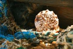 Free Cassis Rufa Seashell In Tidepool Stock Image - 20631421