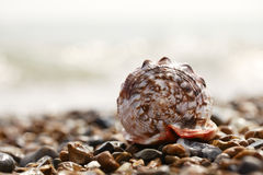 Cassis rufa seashell on sea pebbles Royalty Free Stock Photography