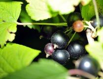 Cassis sur un branchement dans le jardin Photographie stock libre de droits