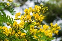 Cassod树、桂皮siamea或者暹罗番泻树 库存图片