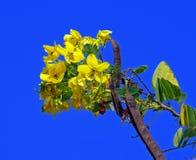 Cassod Baum, thailändische kupferne Hülse Lizenzfreies Stockfoto