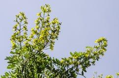 Cassod träd, thailändsk kopparfröskida (sennabladsiameaen (Lam ) Irwin & Barneb Fotografering för Bildbyråer