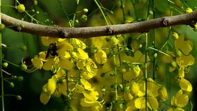 Cassod tree flower. Under the shade with carpenter bee as a polinator stock footage