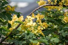 Cassodboom; Kassieboomsiamea met bloem royalty-vrije stock foto