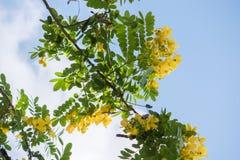 Cassodboom; Kassieboomsiamea met bloem royalty-vrije stock afbeeldingen