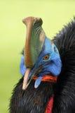 cassowary южный Стоковое Изображение