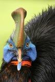 cassowary южный Стоковые Фотографии RF