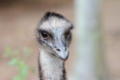 cassowary Стоковые Изображения
