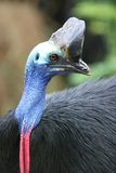 Cassowary. Cassowaries are very large flightless birds native to the tropical forests of New Guinea and northeastern Australia Royalty Free Stock Photos