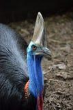 cassowary royaltyfri bild