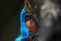 cassowary Fotografering för Bildbyråer