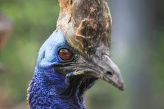 cassowary Стоковые Фотографии RF