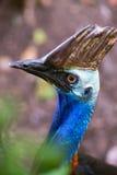 cassowary Fotografia de Stock Royalty Free