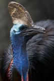 Cassowary. Cassowaries (genus Casuarius) are very large flightless birds native to the tropical forests of New Guinea and northeastern Australia Stock Photo