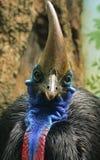 Cassowary Stock Images