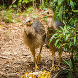 Cassowary bird. Cassowaries are ratites flightless birds without a keel on their sternum bone in the genus Casuarius and are native to the tropical forests of Stock Photography