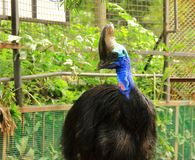 Cassowary bird Casuarius casuarius. A beautiful portrait of cassowary bird Casuarius casuarius in a zoo royalty free stock images