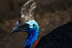 Cassowary bird close up face. In profile Stock Photography