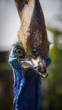 Cassowary bird. The cassowary bird living in zoo Stock Photography