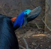 Cassowary bird. Cassowary bird  turn back close up Royalty Free Stock Photography
